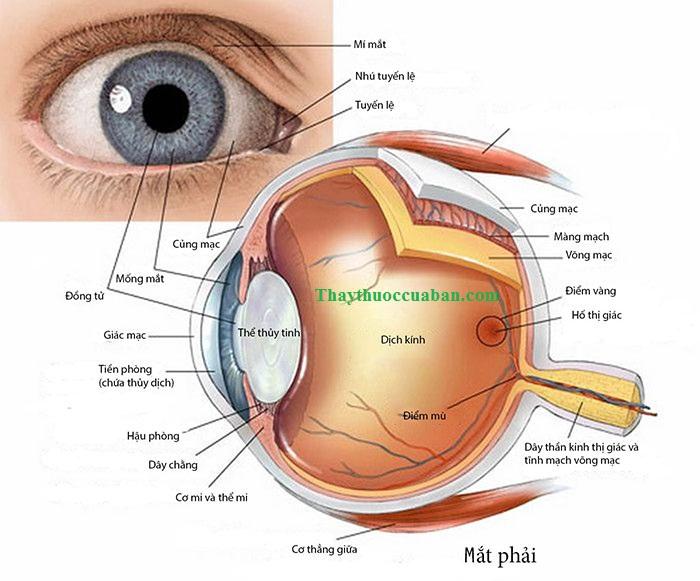 Cấu tạo mắt