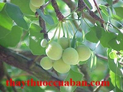 Hình ảnh cây bạch quả, bạch quả