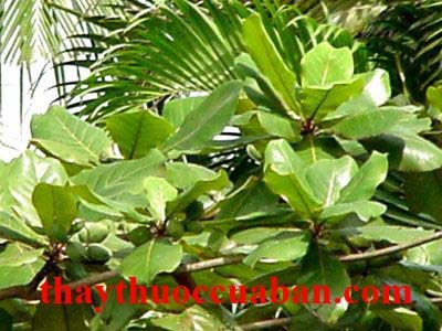 Hình ảnh cây bàng, vị thuốc bàng