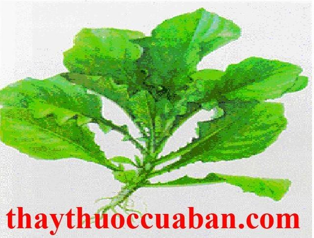 Hình ảnh cây cải trời, vị thuốc hạ khô thảo nam