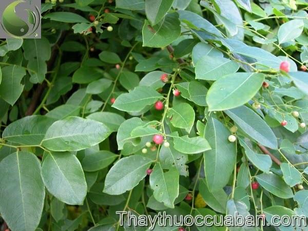 Phèn đen - Phyllanthus reticulatus Poir., thuộc họ Thầu dầu - Euphorbiaceae.