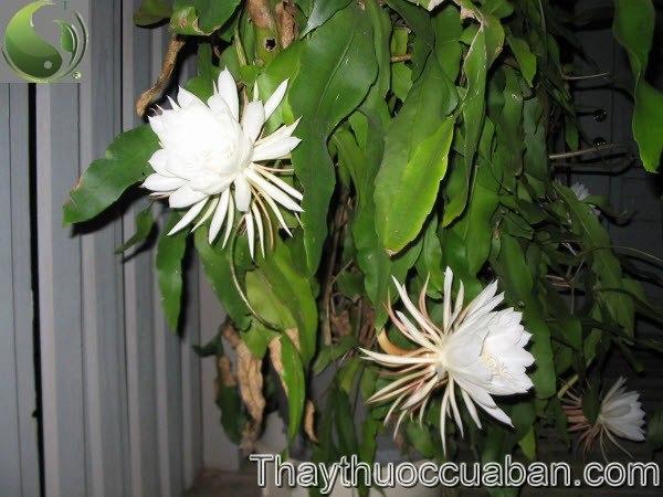 Quỳnh hay Huỳnh hoa - Epiphyllum oxypetalum (DC.) Haw. (Cereus oxypetalus DC.), thuộc họ Xương rồng - Cactaceae.