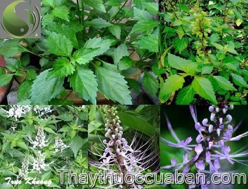 Râu mèo, Cây bông bạc - Orthosiphon spiralis (Lour.) Merr., thuộc họ Hoa môi - Lamiaceae