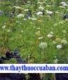 Cây xà sàng - vị thuốc chữa lòi dom, bạch đới khí hư