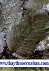 Rhizoma drynariae,Drynaria frotunei (Kunze) J. Sm,Drynaria (cốt toái bổ) Davallia.  Cây tổ rồng