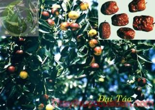Hình ảnh cây đại táo, vị thuốc đại táo, đại táo, táo tàu