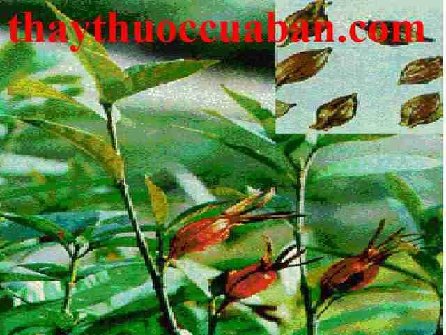 Hình ảnh cây dành dành, vị thuốc chi tử,