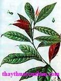 Hình ảnh cây đơn lá đỏ, đơn lá đỏ