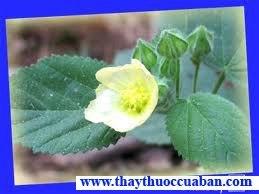Ké hoa vàng - vị thuốc chữa mụn nhọt, lỵ