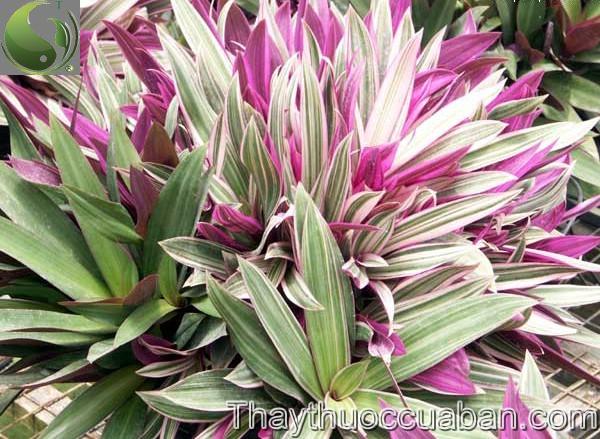 Lẻ bạn, Bạng hoa, Sò huyết - Tradescantia discolor L'Hér. (Rhoeo discolor (L'Hér.) Hance), thuộc họ Thài lài - Commelinaceae.