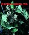 Sơn thù du, son thu du, Fructus corni, Cornus fruit, Dogwood fruit