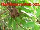 Tang kí sinh, tang ki sinh, Ramulus Faxilli, Loranthus parasiticus (L.) Merr