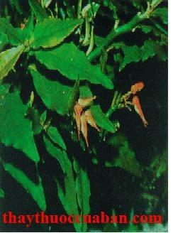 Hình ảnh cây thuốc dấu, hồng tước san hô