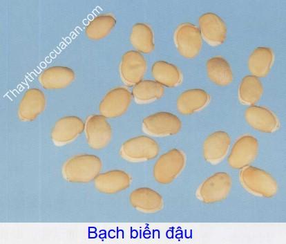 Hình ảnh vị thuốc bạch biển đậu