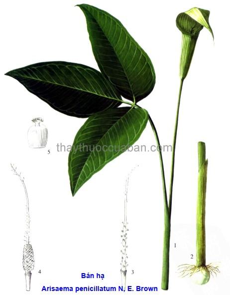 Hình ảnh cây Bán hạ