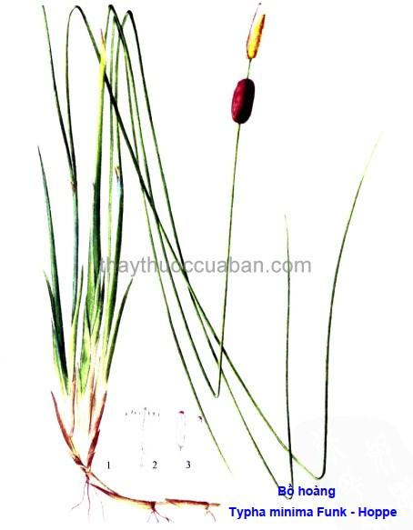 Hình ảnh cây Bồ hoàng