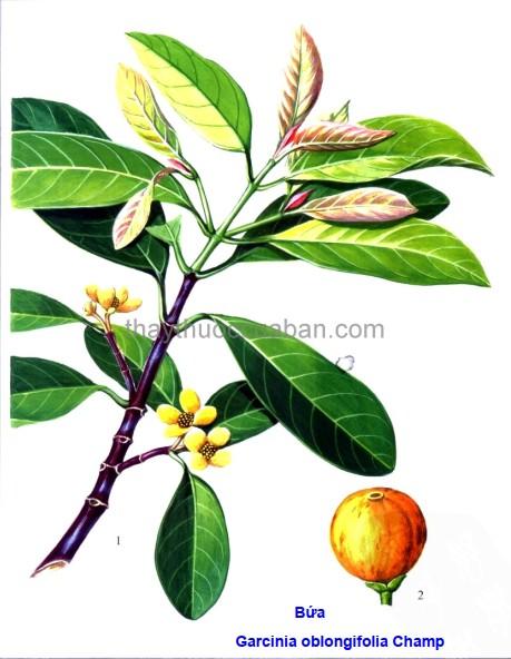 Hình ảnh cây bứa
