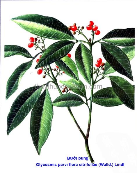 Hình ảnh cây Bưởi bung