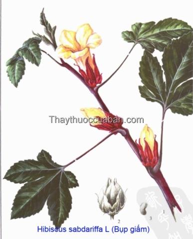 Hình ảnh cây bụp giấm