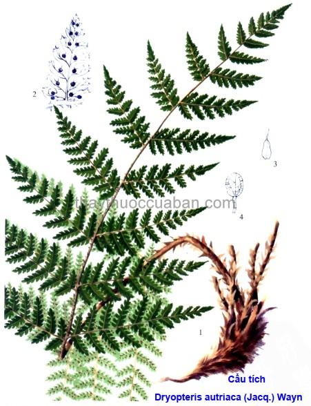 Hình ảnh cây Cẩu tích