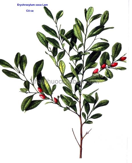 Hình ảnh cây Cô ca