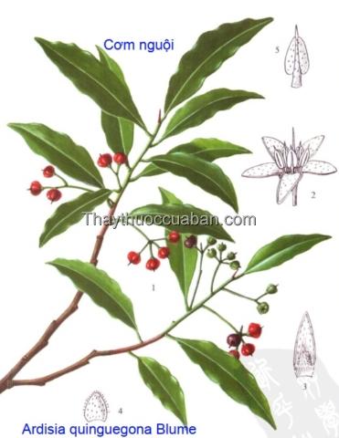 Hình ảnh cây cơm nguội năm cạnh