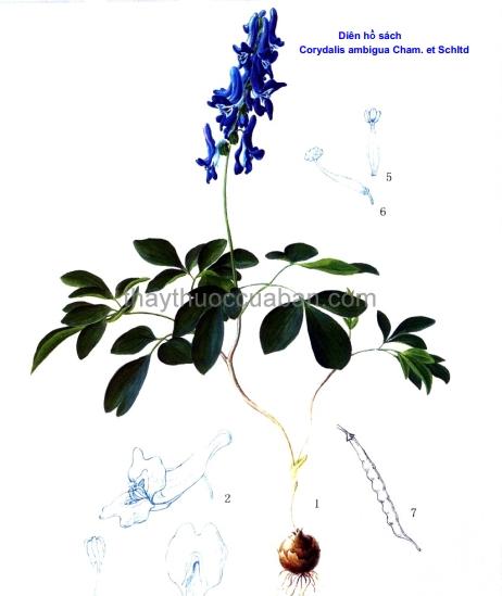 Hình ảnh cây diên hồ sách