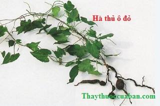 Hình ảnh cây hà thủ ô đỏ