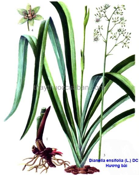 Hình ảnh cây Hương bài