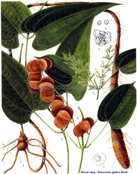 Hình ảnh cây Khoai rạng