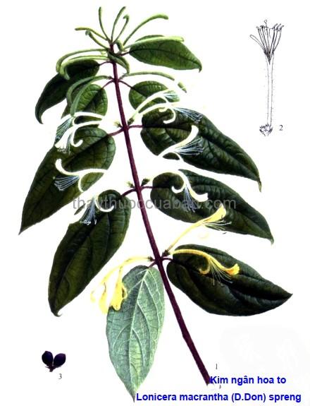 Hình ảnh cây Kim ngân hoa