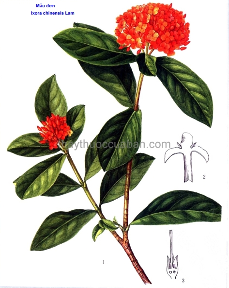 Hình ảnh cây Đơn đỏ