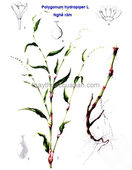 Hình ảnh cây Nghể răm