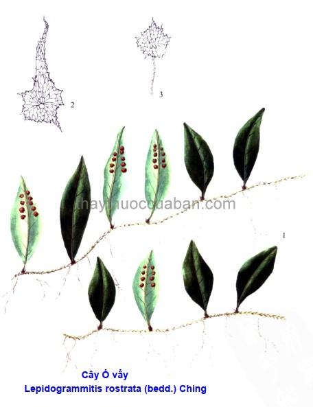 Hình ảnh cây Ô vây