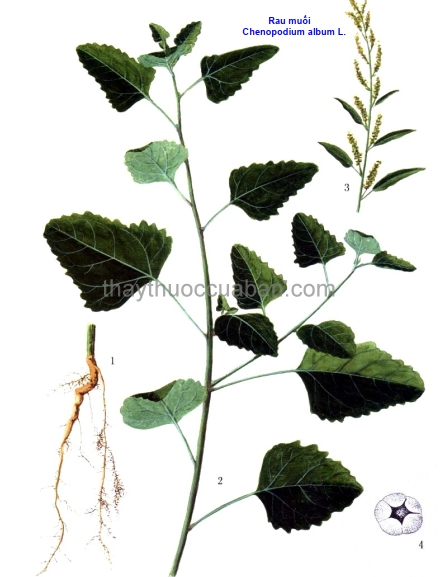 Hình ảnh cây rau muối