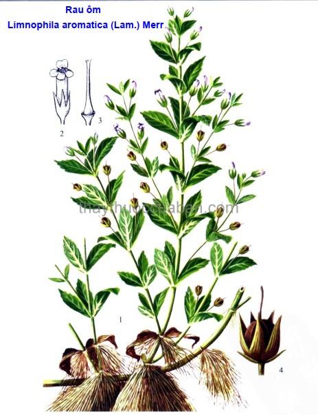 Hình ảnh cây rau ôm