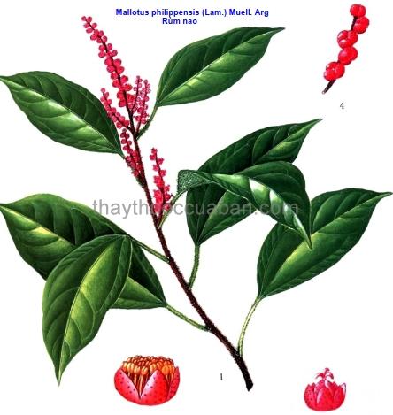 Hình ảnh cây Rùm mao