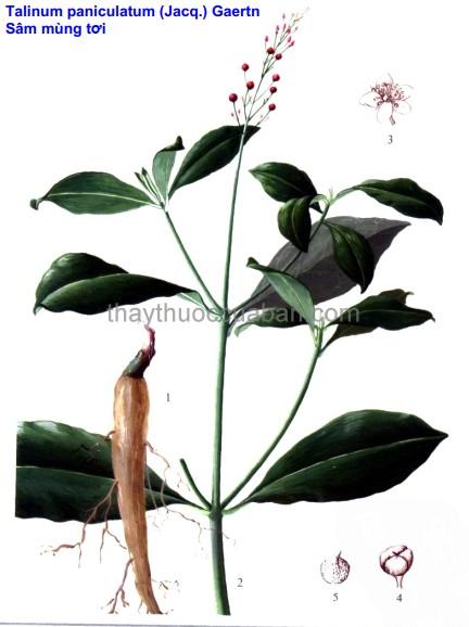 Hình ảnh cây thổ sâm