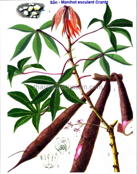 Hình ảnh cây Sắn