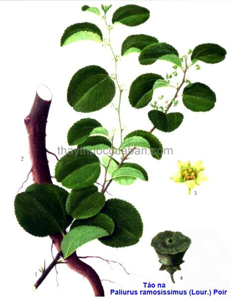 Hình ảnh cây Táo na