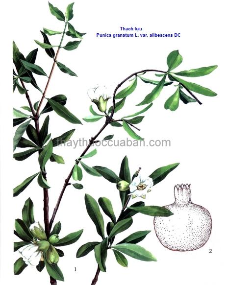 Hình ảnh cây Thạch lựu