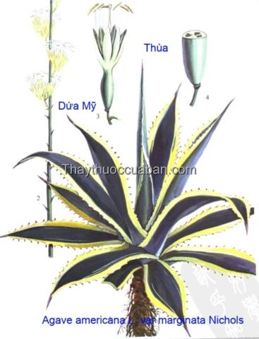 Hình ảnh cây thùa