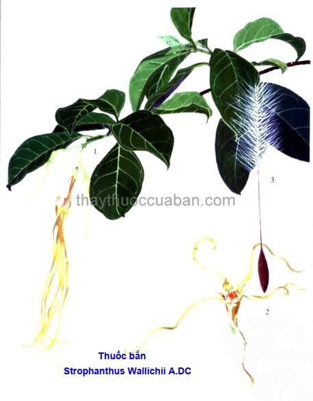 Hình ảnh cây thuốc bắn