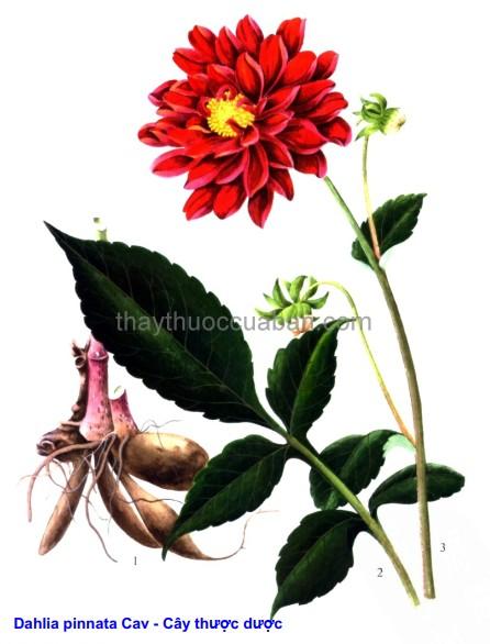 Hình ảnh cây Bạch thược