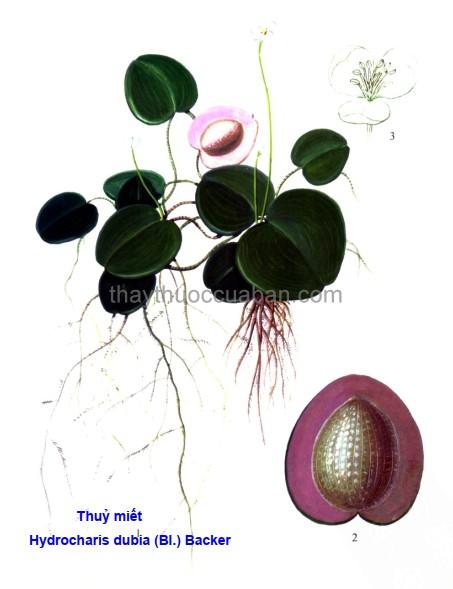 Hình ảnh cây Thuỷ miết