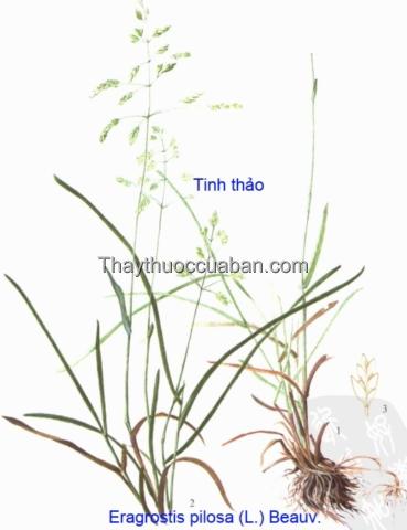 Hình ảnh cây tinh thảo lông