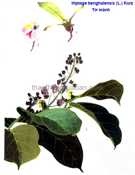 Hình ảnh cây  Tơ mành