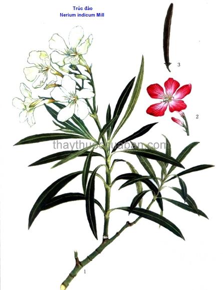 Hình ảnh cây Trúc đào
