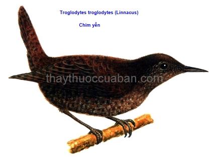 Hình ảnh chim yến