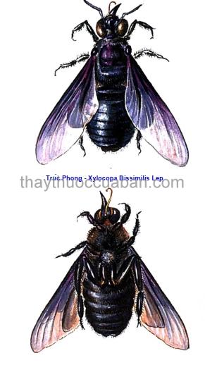 Hình ảnh ong đen - Trúc phong